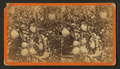 Citron. (Orange tree with fruit.), by Havens, O. Pierre, 1838-1912.png