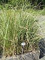 Cladium mariscus - Botanischer Garten, Frankfurt am Main - DSC03230.JPG
