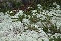 Cladonia arbuscula 108558155.jpg