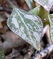 Claytonia perfoliata ssp intermontana 6.jpg