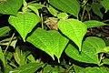 Clidemia hirta - Koster's Curse during Periyar butterfly survey at Sabarimala, 2014 (2).jpg