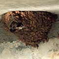 Cliff Swallow Nest (4869082942).jpg