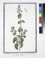 Clinopodium, Origono simile, flore albo - Regono salvatico. (Wild mint) (NYPL b14444147-1125198).tiff