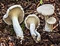 Clitopilus prunulus (Scop.) P. Kumm 649649.jpg