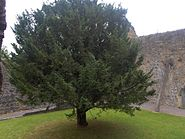 Cloister Tree