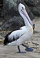 Clontarf Pelican waiting for dinner-3 (4648991569).jpg
