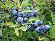 Closeup of blackthorn aka sloe aka prunus spinosa sweden 20050924.jpg