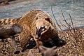 Coati (5486424491).jpg