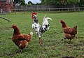 Cock and Hens, Berry Lodge Farm - geograph.org.uk - 442456.jpg
