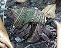 Coconut Crab - Birgus latro (4090669383).jpg