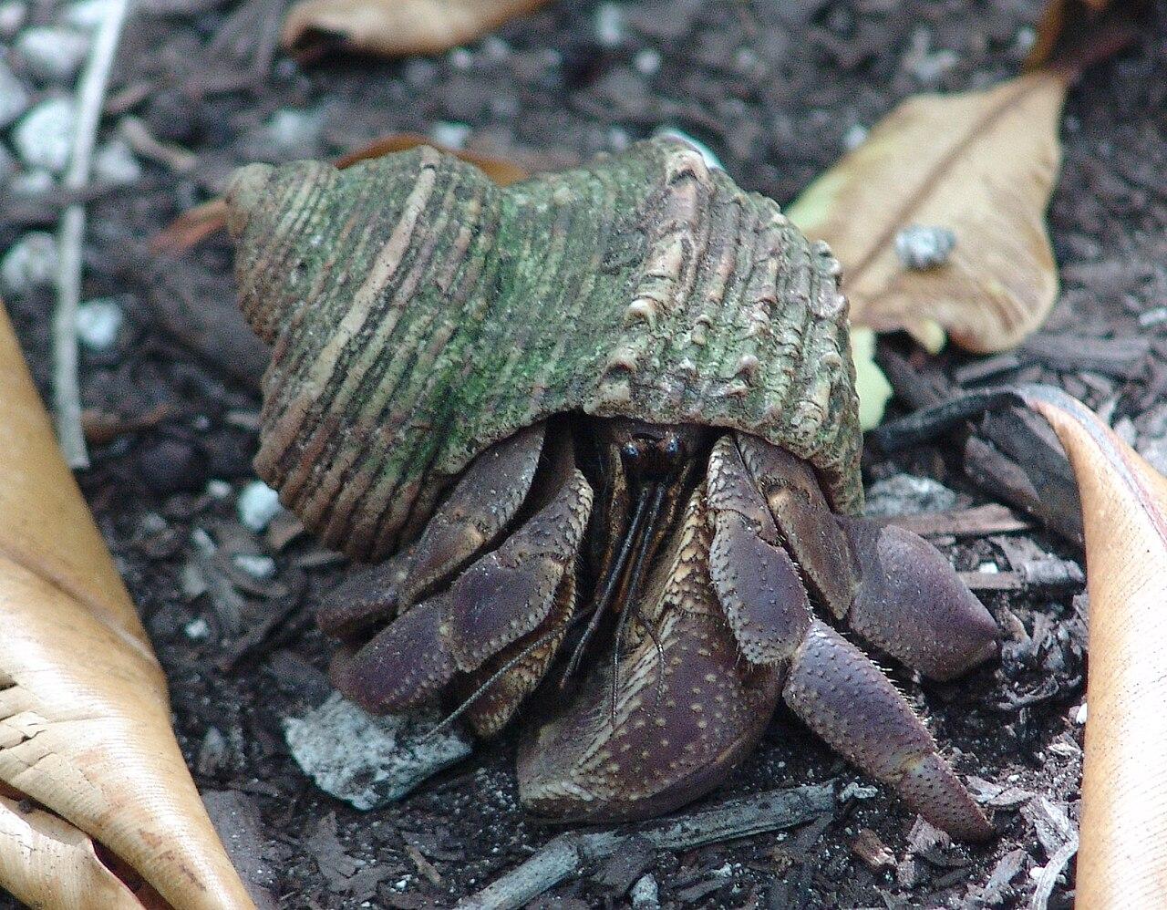 attēlscoconut crab birgus latro 4090669383jpg