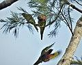 Coconut Lorikeets Trichoglossus haematodus, Variata National Park, Port Moresby, PNG (48743693166).jpg