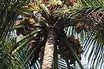 Cocos nucifera crown.jpg