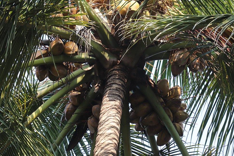 Cocos nucifera crown