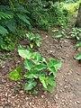 Cocoyam plant.jpg