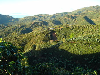 Coffee-farms-in-tarrazu-costarica