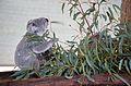Cohunu koala, 2013(2).JPG