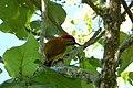 Colaptes rubiginosus (Carpintero cariblanco) - Flickr - Alejandro Bayer (4).jpg