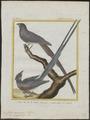 Colius capensis - 1700-1880 - Print - Iconographia Zoologica - Special Collections University of Amsterdam - UBA01 IZ19300007.tif