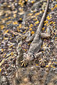 Collared Lizard (19790094559).jpg