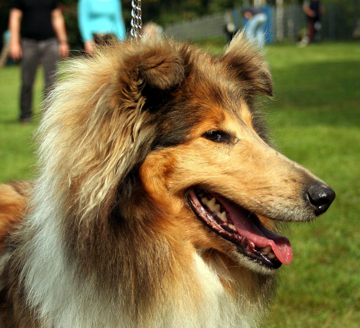 German Shepherd Best Service Dog