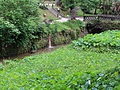 Colocasia esculenta-IMG 8688.JPG