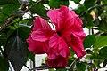 Cologne Germany Flora-Köln-Hibiscus-rosa-sinensis-02.jpg