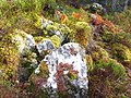 Colourful mosses and lichens near Rogie falls - geograph.org.uk - 607576.jpg