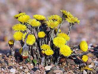 Tussilago - Image: Coltsfoot