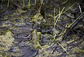 Columbia spotted frog, Mammoth Hot Springs (63c3d002-0a13-481f-8dc9-4813f7f83df4).jpg