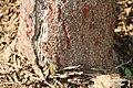 Colvillea racemosa 13zz.jpg