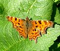 Comma - Flickr - gailhampshire (3).jpg