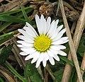 Common Daisy (Bellis perennis ) - geograph.org.uk - 1215935.jpg