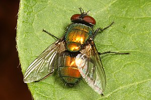 Common Greenbottle Fly - Lucilia sericata?, Woodbridge, Virginia.jpg
