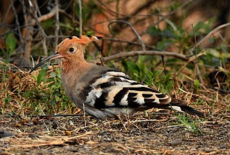 Common Hoopoe Upupa epops by Dr. Raju Kasambe (4).jpg