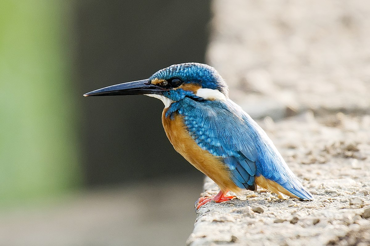 River Kingfisher Wikipedia