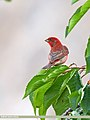 Common Rosefinch (Carpodacus erythrinus) (32506919770).jpg