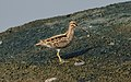 Common Snipe Gallinago gallinago by Vedant Kasambe 01.jpg