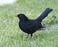 Common blackbird - male - Flickr - Lip Kee.jpg