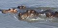 Common hippopotamus, Hippopotamus amphibius, at Letaba, Kruger National Park, South Africa (20226695065).jpg