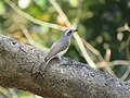 Common woodshrike IMG 0834.jpg