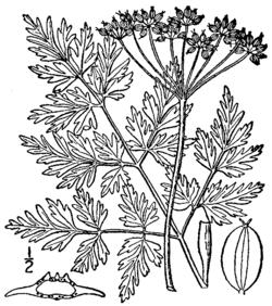 Conioselinum chinense BB-1913.png
