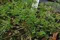 Conservatoire botanique national de Brest-Apium-fernandezianum-15 07 03-El Funcionario (19204670178).jpg