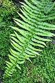 Conservatoire botanique national de Brest-Blechnum longicauda-15 07 01-ClaudePERON (20181260056).jpg