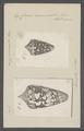 Conus ammiralis - - Print - Iconographia Zoologica - Special Collections University of Amsterdam - UBAINV0274 086 07 0003.tif