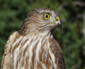 Coopers Hawk in Forest-Mt Hood (23429019556).png