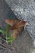 Coprosma hawk moth.jpg