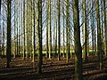 Copse on Heyford Circular footpath - geograph.org.uk - 643972.jpg