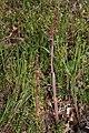 Corallorhiza striata 3740.JPG