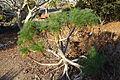 Coreopsis gigantea - San Luis Obispo Botanical Garden - DSC06052.JPG